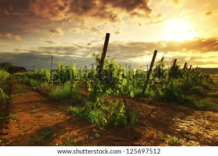 Vineyard in france on sunrise - stock photo