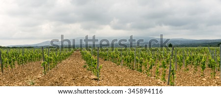 Vineyard in Languedoc-Roussillon, France, between Narbonne and Perpignan, at spring (june)