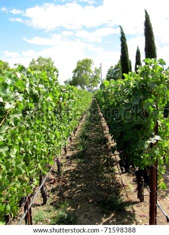 Vineyard in Napa Valley, California - stock photo