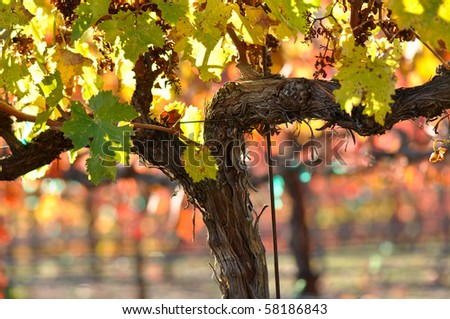 Vineyard in Napa Valley California in Fall Autumn - stock photo