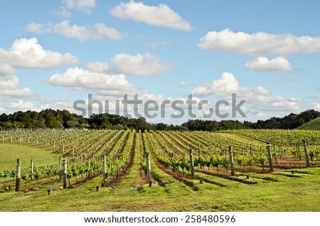 Vineyard in New Zealand - stock photo
