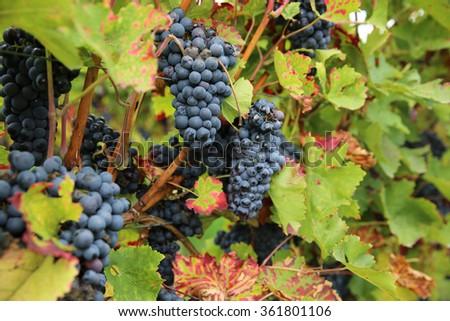 Vineyard in Rhineland-Palatinate. Germany - stock photo