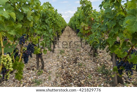 Vineyard in Saint Julien in Medoc, France with red blue grapes, leaves and silicious earth. - stock photo