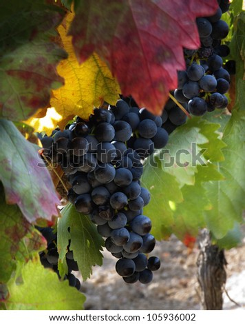 VIneyard in September (La RIoja,SPain) - stock photo