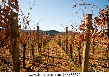 Vineyard in Sonoma California - stock photo