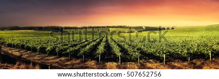 Vineyard in South Australia