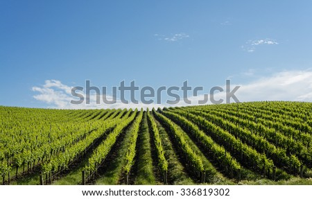 vineyard in spring, bright green leaves against a blue sky - stock photo