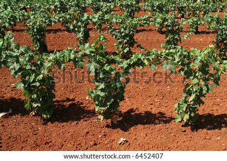 Vineyard in springtime (Istria) - stock photo