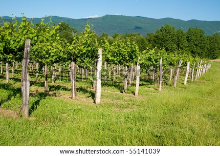 vineyard in summer - stock photo
