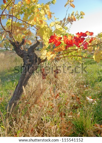 Vineyard in the fall time