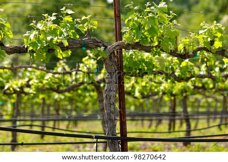 Vineyard in the Spring - stock photo