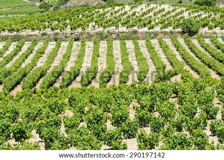 Vineyard, La Rioja (Spain) - stock photo