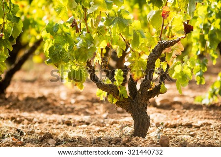 Vineyard landscape detail in a sunny day. - stock photo