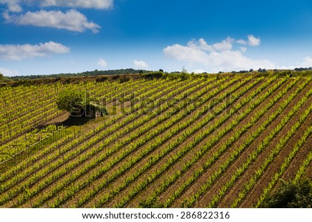 Vineyard near Montalcino, Tuscany, Italy
