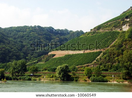 Vineyard on a mountain slope in Rhine valley