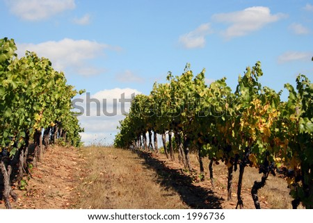 Vineyard rows on top of a hill on a beautiful Autumn day. - stock photo