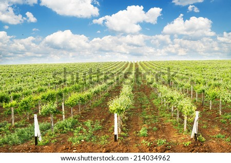 Vineyard summer landscape,cloudy sky  at the valley of grapes, agricultural industry at harvest season - stock photo