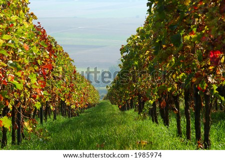 Vineyard. The Rhine Valley, Germany - stock photo