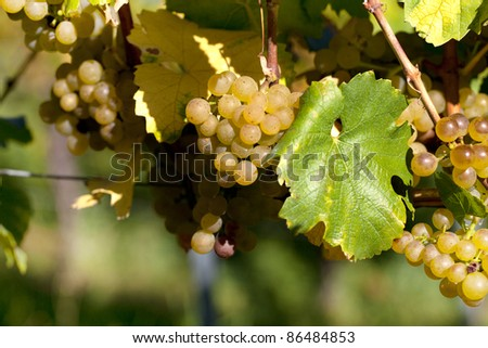 Vineyard with fully ripe grapes in autumn