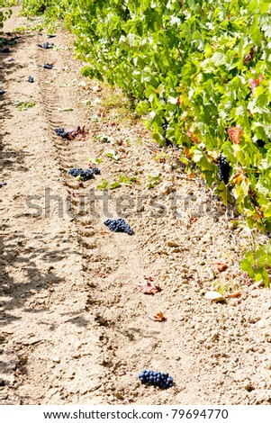 vineyard with red grapes, La Rioja, Spain
