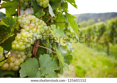 Vineyard with riesling white wine grapes in Germany - stock photo