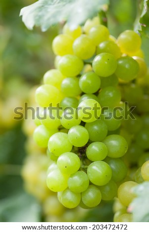 Vineyards - stock photo