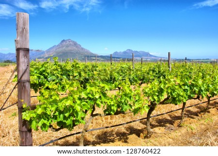 Vineyards and misty mountains. Shot in Western Cape, South Africa. - stock photo