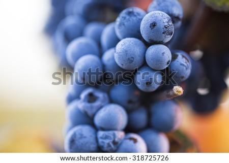 Vineyards at sunrise in autumn harvest.   - stock photo