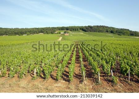 vineyards Burgundy, France  - stock photo