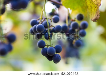Vineyards in autumn harvest. Ripe grapes in fall. Cluster grapes