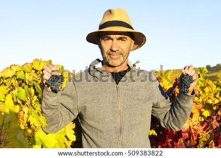 vineyards in autumn with the last bunches of grapes, wine grower man working , Bierzo , Spain ; selective focus