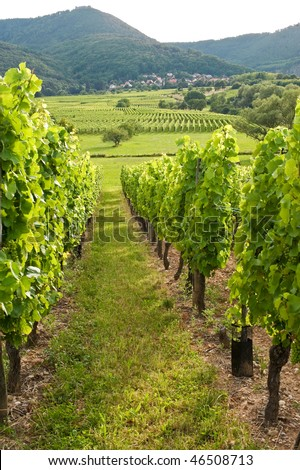 Vineyards in Bas-Rhin, Alsace (France) at summer (july)
