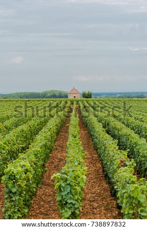 Vineyards in Burgundy, landscape in France, ripe grape in summer with a small barn in background