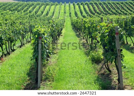 Vineyards in Czech countryside