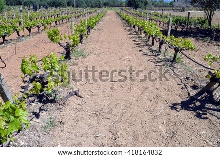 Vineyards in flowers in the Cretan campaign in Greece