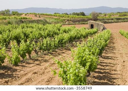 Vineyards in Montferri ( Alt Camp ), Tarragona province, Catalonia, Spain - stock photo