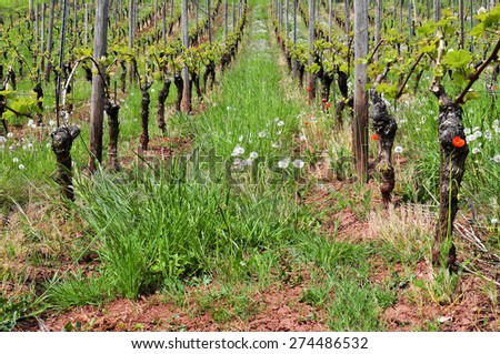 Vineyards in Spring on the Rhine - stock photo