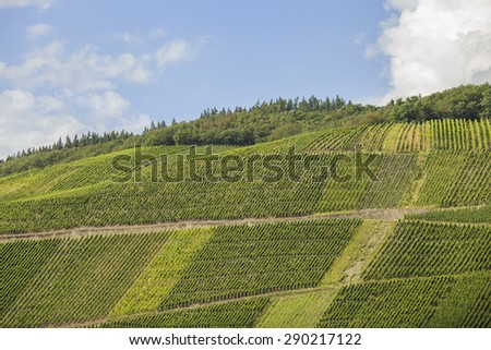 Vineyards in the Mosel area in Germany, planted with Riesling grapes - stock photo