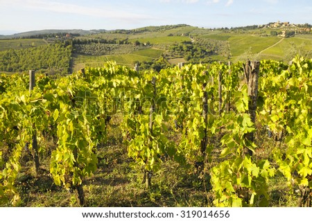 Vineyards in Tuscany, Chianti region