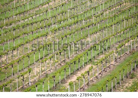 Vineyards in Tuscany - rural Italy. Agricultural area in the province of Siena. - stock photo