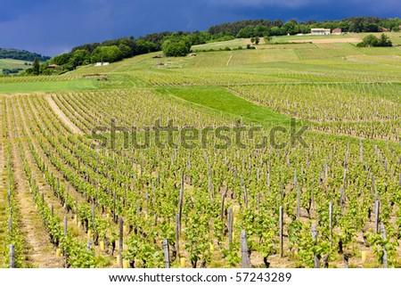 vineyards of Cote Maconnais region near Ige, Burgundy, France - stock photo