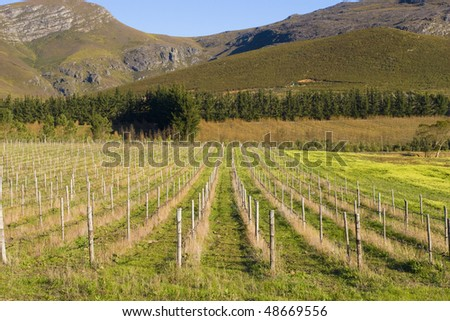 Vineyards on the slopes of the mountain outside Hermanus, South Africa - stock photo