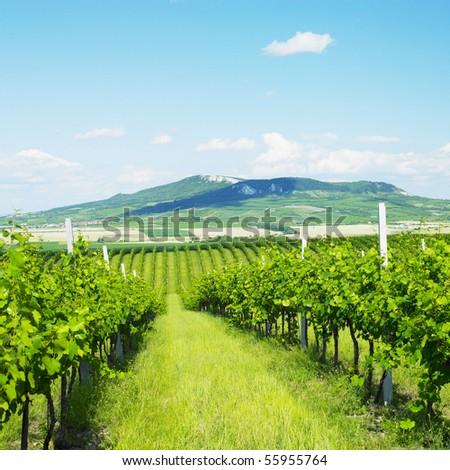vineyards, Palava, Czech Republic - stock photo