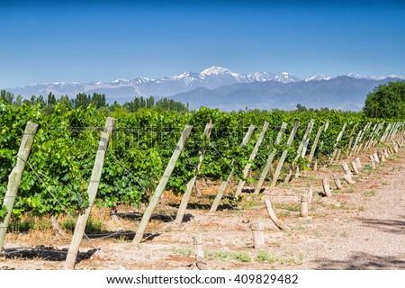 Vineyards. Volcano Aconcagua Cordillera. Andes mountain range, in Maipu, Argentine province of Mendoza - stock photo