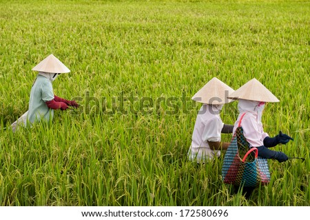 VINH LONG, VIETNAM - MARCH 7: Vietnamese women work in a rice paddy on March 7, 2009 in the Mekong delta near Vinh Long. The Mekong delta is a major tourist destination to experience rural Vietnam.
