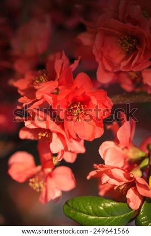 Vintage background with spring flower color Coral. Blurred background with flower in a spring day. - stock photo