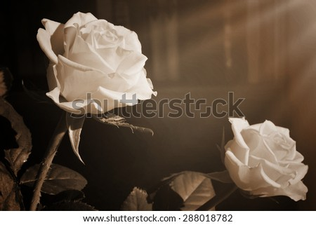 Vintage background with two white roses and a bookshelf at the distance. Black & White. Selective focus - stock photo