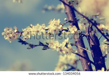 Vintage Cherry tree flower - stock photo