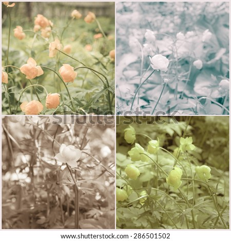 Vintage collage of Globe flowers (Trollius asiaticus). Toned image. Retro style. - stock photo