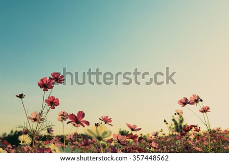 Vintage cosmos flowers with blue sky - stock photo